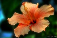 Orange-hibiscus