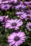 Lilac-flower-power