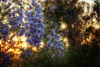 Wisteria-at-sunset-