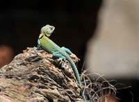 Palo-duro-canyon-lizard
