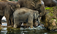 Elephants-have-a-cosy-time-in-the-water