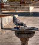 A-pigeon-at-the-fountain