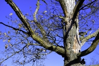 Winter-tree-in-blue-sky