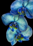 Blue-orchids