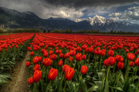 Tulips-vancouver-bc-canada