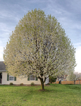 Bradford-pear-in-bloom