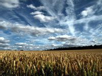 Cornfield