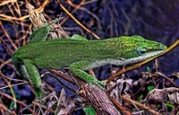 Swamp-anole