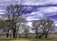 Old-cottonwoods