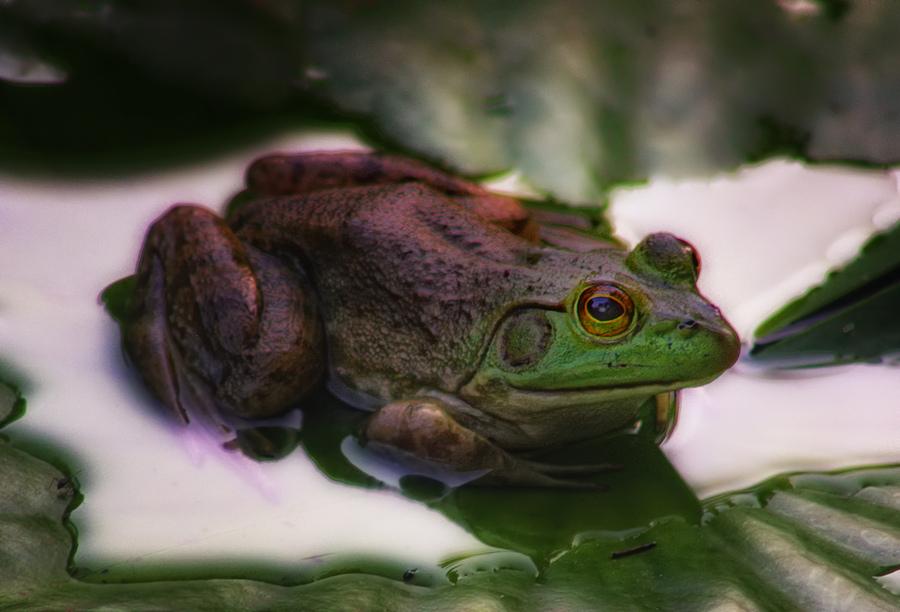 backyard frog hdr photo hdr creme