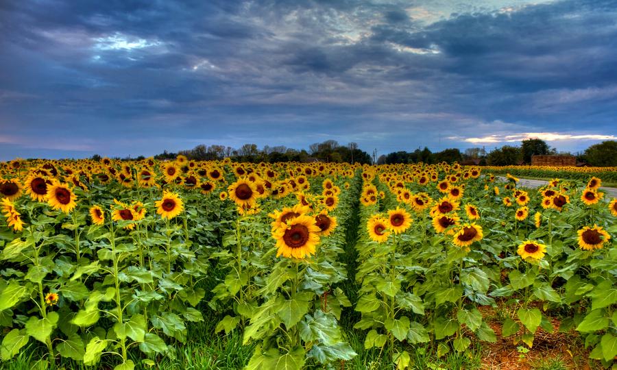 Sunflower 22 %281%29