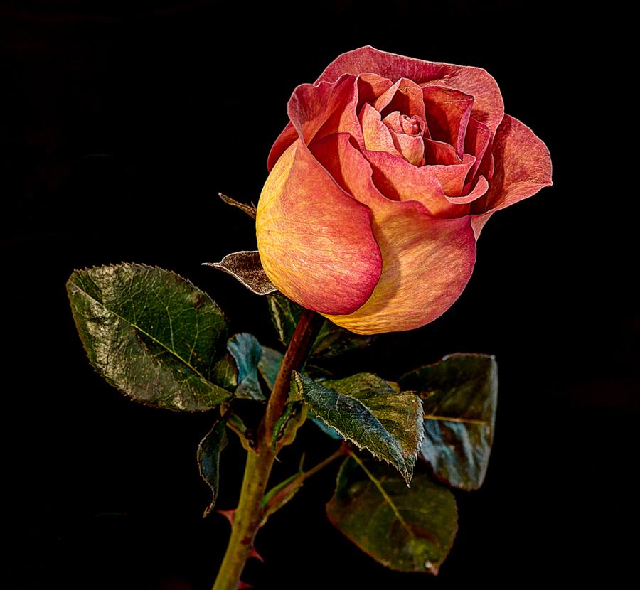 Orange rose 211211