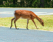 Deer_on_the_road_hdr