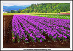 Phlox-crop-rows-of-washington-state