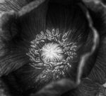 Poppies_b_w