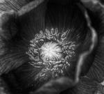 Poppies b w