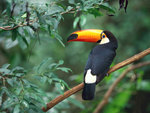 Toco_toucan